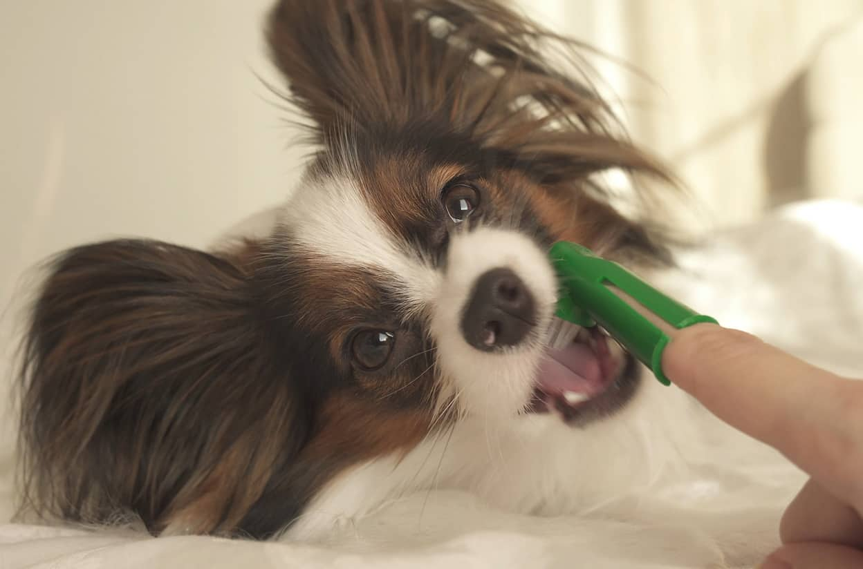 small dog getting its teeth brushed with a finger toothbrush