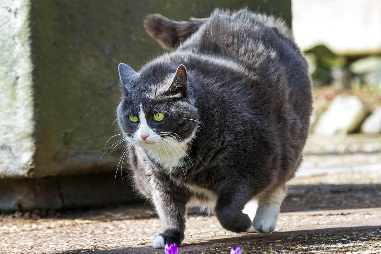 obese tuxedo cat walking outside