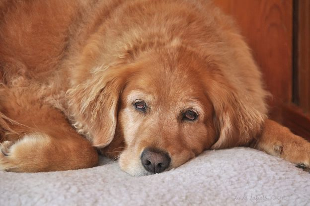 older golden retriever with gray muzzle